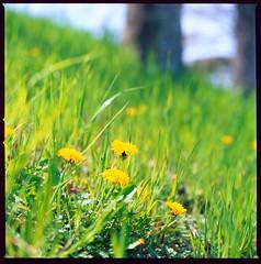 Sunny Day Slope (maida0922) Tags: spring dandelion slope kamogawa タンポポ 賀茂川