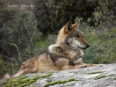 Lobo ibrico (canis lupus signatus) (GuitarGon) Tags: animals fauna real spain wolf lobo lupus canis iberico caada ibrica signatus