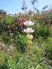 From a flower walk (15) (gerbet) Tags: california desert floweres