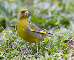 Greenfinch (Carduelis chloris) (Panayotis1) Tags: nature birds aves greece greenfinch animalia carduelischloris fringillidae passeriformes carduelis chordata  canonef400mmf56lusm imathia aggelochori     kenkopro300afdgx14x