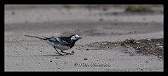 8943 Pied Wagtail (peter harris41) Tags: bird wildlife piedwagtail rivertees redcarcleveland nationalgeograophic