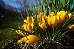VOR / SPRING (HPHson) Tags: green yellow iceland spring crocus vor gulur grænn krókus hphson sonyslta55