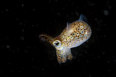 The dark crusader (Sepiola atlantica) (Arne Kuilman) Tags: macro netherlands zeeland squid cephalopod nightdive oosterschelde sepiola bobtailsquid zoetersbout sepiolaatlantica dorbigny atlanticbobtailsquid