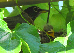 Good Morning Beautiful... (Vintage Sparrow) Tags: baby love birds garden blessings nest goodmorning gratitude homesweethome mydaytoday