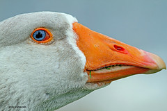 white fronted goose (gray clements) Tags: orange geese blueeyes beak goose devon exeter 7d quayside whitefrontedgoose