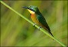 Little Bee-eater. (LC's Eye (Wild Images of Africa)) Tags: fbdg