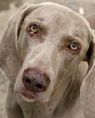 HillaryFace (Talland) Tags: dog eye dogs face animal canon happy eyes ears weimaraner ear bigears weimaraners