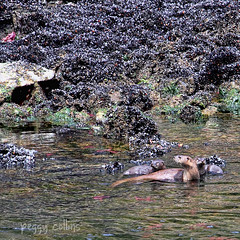 River Otter and Babies (Peggy Collins) Tags: canada seaweed coast starfish britishcolumbia sealife pacificocean otter pacificnorthwest coastline mussels sunshinecoast riverotter oceanlife musselbed animalfamily oceananimals britishcolumbiacoast otterfamily babyotters peggycollins motherandbabyanimals