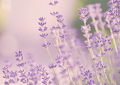 more lavender (desomnis) Tags: flowers light summer nature colors austria sterreich colorful colours dof bokeh smooth lavender sigma depthoffield lavandula sigma70300