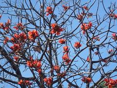 Kimberley rose (Figgles1) Tags: station mt tour elizabeth sticky 4wd mount kimberley westernaustralia kurrajong mountelizabeth p1040146 mtelizabeth brachychitonviscidulus stickykurrajong darlab djalad