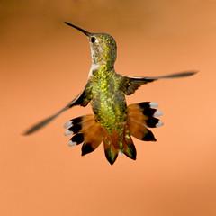 Rufus Hummingbird (Eric Gofreed) Tags: arizona hummingbird ngc sedona yardbird rufushummingbird specanimal