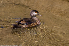 Wood Duck, maybe is a female? Permanente Creek, Shoreline, Mountain View (Johanna California) Tags: wood birds female duck shoreline aixsponsa califorinia permanentecreek lifeatshoreline