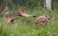 Abyssinian Play 6 (peter_hasselbom) Tags: blue cats sun game field grass cat outdoors fight play usual explore fawn abyssinian hunt 105mm ruddy 3cats lookingon