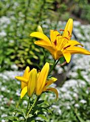 Yellow Lily (Stella Blu) Tags: flowers floral yellow lily 105mmf28gvrmicro stellablu nikond5000 pregamewinner