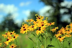 Midsummer Wildflowers (Cole Chase Photography) Tags: flowers summer flower canon midsummer july iowa wildflowers t3i