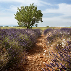 LAVANDA... (Paolo Cirmia) Tags: landscapes squares lavender lavande francia paesaggi provenza lavanda