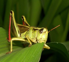 Grasshopper (CherryBlossomGirl22) Tags: green nature bug insect grasshopper