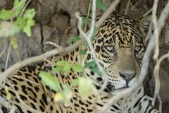 Jaguar - Porto Jofre area , Pantanal, Brasil (Ami 211) Tags: brazil brasil jaguar pantanal bigcats panthera felidae pantheraonca pantherinae specanimal portojofre animalesofbrasil animalesofsudamerica animalesofamericadosul