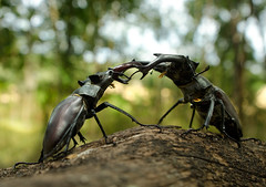 The fight (Stanislav Snll) Tags: insect insects coleoptera insecta lucanuscervus lucanidae stagbeetles lucanus nikkor105vr nikond7000