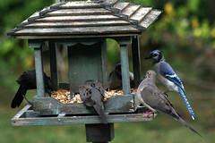 Grackle, Mourning Doves, Blue Jay_7369 (Bobolink) Tags: ontario stirling grackle bluejay mourningdove