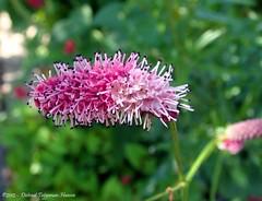 (dietmut) Tags: flowers rotterdam nederland thenetherlands slideshow bloemen sonycybershot 2012 zuidholland hoogvliet zalmplaat sonydsct200 julijuly dietmut rozepinkrosa yourfavorites65