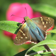 the colors of August (Vicki's Nature) Tags: pink blue shadow green yard canon butterfly georgia wings tail ngc skipper npc return s5 bigmomma knockoutroses longtailedskipper gamewinner supershot 6853 touchofred 15blue vickisnature 100commentgroup storybookwinner bwcgpinkpurple yourockblue motheranythingwmedal bwcgtouchofblue game2ndchooses returnbestofdamn cfweeklychallenge supershotscontestwk4aug2012 storybookcolorfulnature mothergrandmotherchall cgblue storybookspecialweeklychallengeblue
