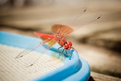 Dragonfly (p4nc0np4n) Tags: blue red pool swimming bug rouge fly wings dragonfly libelula alas bicho insecto