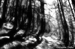 """""""Promenons-nous dans les bois, pendant que..."""" - """" Let us walk in wood, while... """" (Corinne DEFER - DoubleCo) Tags: wood light blackandwhite france tree nature landscapes noiretblanc pins lumiere rbol  paysage albero foret arbre paesaggi baum sentier paysages chemin flou bois  paisagens landschaften tronc ombres alpesdehauteprovence negroyblanco allos corinnedefer updatecollection gr56b"""