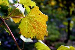 Grape leaf (ScribeGirl) Tags: autumn sunlight fall leaf vine northcarolina winery grape shallowdof sandersridgevineyard