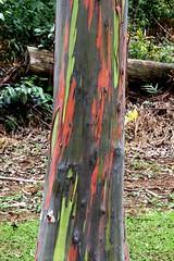 Rainbow Eucalyptus, Kauai, Hawaii (lhboudreau) Tags: trees tree island hawaii rainbow painted bark kauai hawaiian eucalyptus multicolored kauaihawaii rainboweucalyptus keahuaarboretum highway580 kuamooroad keahuaforestryarboretum