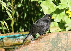Wet look Blackbird (Steve Lane - Birds and stuff) Tags: blackbird gardenbirds