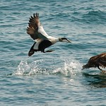Eider ducks taking off