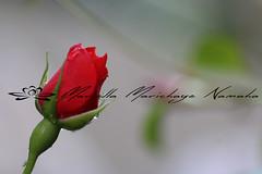 Red rose (Namast Mari) Tags: red baby flower nature rose garden rosa natura dew fiore rugiada giardino goccia rossa bocciolo profonditdicampo