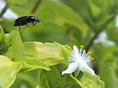 P5232165 (eriko_jpn) Tags: insect whiteflower beetle wildflower