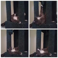 Button Collage (tat2dqltr) Tags: cat button graycat mainecoonmix