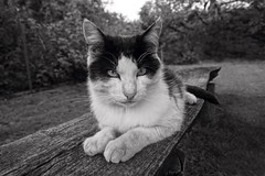 Cat (daria_darek_photography) Tags: favorite white black animal animals cat garden sony picture poland polska mai katze alpha weiss schwarz kot a58 zwierzeta opolskie czarno biale strzelce