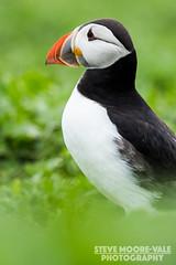 Atlantic Puffin (Steve Moore-Vale) Tags: portrait england birds unitedkingdom wildlife places northumberland farneislands florafauna atlanticpuffin fraterculaarctica