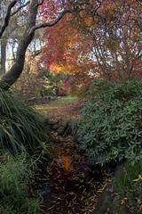 IMG_4851-maple autumn leaves-garden-A (geoffgleave) Tags: autumn leaves garden japanesemaple