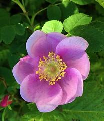 The Beauty of a Wild Rose (FernShade) Tags: canada flower vancouver flora britishcolumbia pacificnorthwest stanleypark wildrose westcoast lostlagoon nootkawildrose