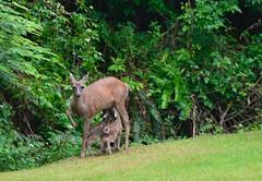 TWINS (shireye) Tags: two twins nikon doe deer fawn fullframe fawns fx 70200 ff momma firstmeeting myyard comoxvalley d610