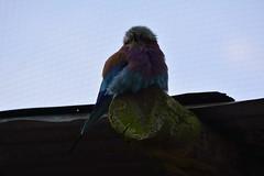 Chester Zoo (375) (rs1979) Tags: zoo chester chesterzoo lilacbreastedroller tsavobirdsafari
