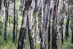 Forest (LSydney) Tags: trees forest trunks