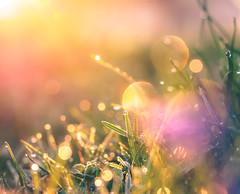 its my light (StadtKind - capture the Bokeh) Tags: plant nature sunrise outside dof bokeh outdoor pflanzen bubbles depthoffield makro landschaft frhling moning primelens bokehlicious blumenundpflanzen bubblebokeh olympusem10markii olympus2860