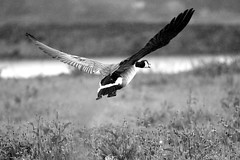 Canada Goose Flying in the rain (M inspired by nature) Tags: canadagoose spreading grotecanadesegans brantacabadensis