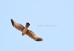 """Soaring Free"" (Pandymonium) Tags: original sky bird birds photography fly flying photo inflight hawk originalart flight free photograph soaring soar hawks originalphotography"