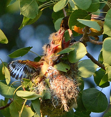 Four baby Orioles in the nest (ctberney) Tags: birds babies nest feeding mother baltimoreoriole
