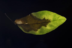 IMG_0010 Ficus elastica (oldimageshoppe) Tags: stilllife backlight leaf ficuselastica rubberplant