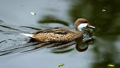 DSC08605_DxO (Franck Zumella) Tags: reflection bird water rouge duck eau teal bec reflexion oiseau canard brun mottled redbilled