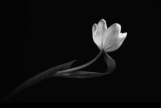 Tulip Study 8