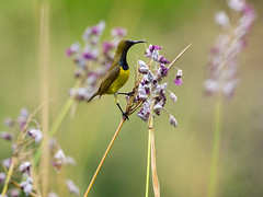 20160621-EM1X8474 (shutterblades) Tags: birds olivebackedsunbird olympusem1 jurongecogarden olympusmzuiko300mmf4pro